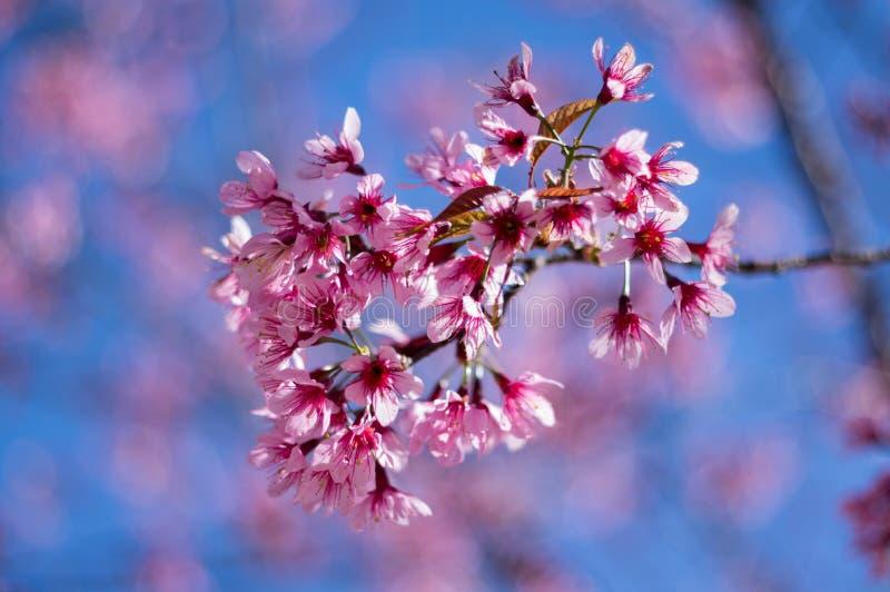 Lat da Dinamarca dos cerasoides do Prunus fotografia de stock royalty free