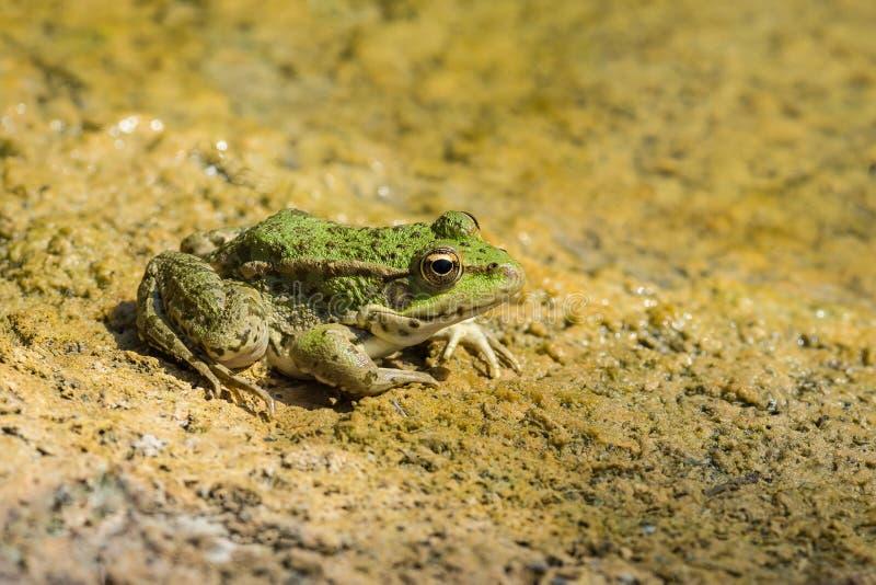 Lat da lagoa da rã verde Lessonae de Pelophylax em uma areia amarela fotos de stock royalty free