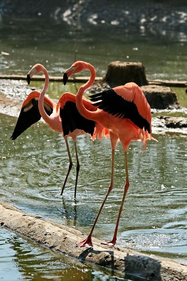 Lat das caraíbas cor-de-rosa do flamingo Phoenicopterus Dança do flamingo Beleza, benevolência, um encanto especial e unicidade d imagem de stock