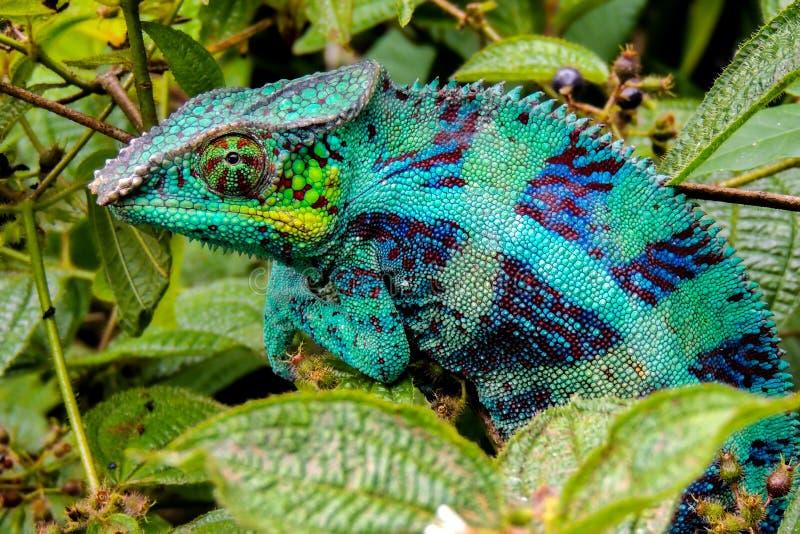 Lat de caméléon de panthère Pardalis Madagascar de Furcifer images stock