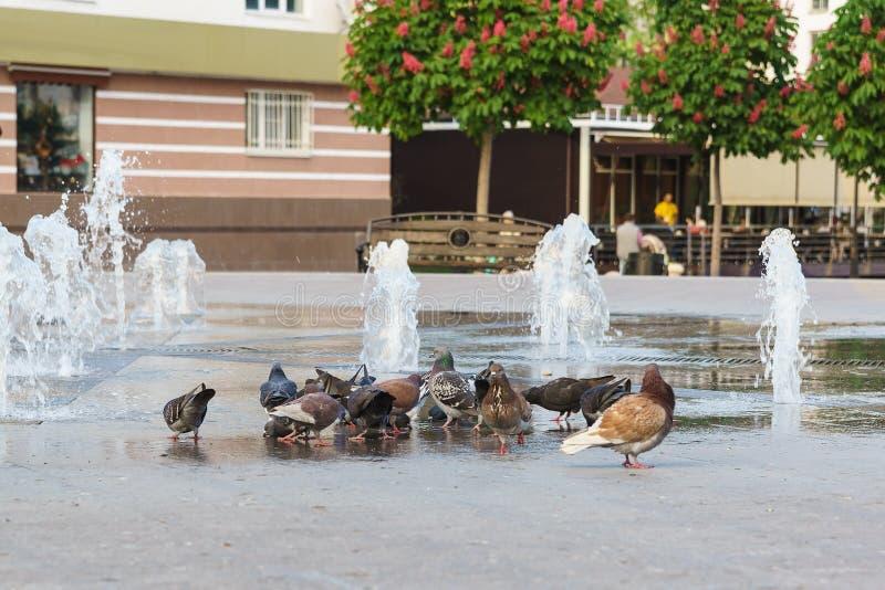 Lat de las palomas de roca Agua potable de Columba Livia de una fuente pública foto de archivo libre de regalías