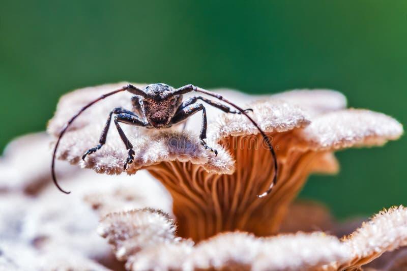Lat de scarabée de Longhorn de scarabée de Deltapatents Myops de Mesosa sur le m photos stock