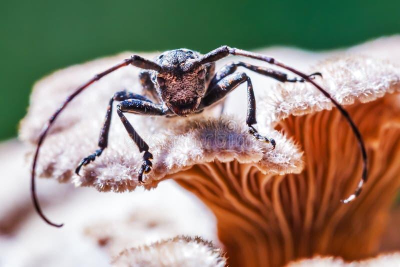 Lat del escarabajo del fonolocalizador de bocinas grandes del escarabajo de Deltapatents Myops de Mesosa en el m fotos de archivo libres de regalías