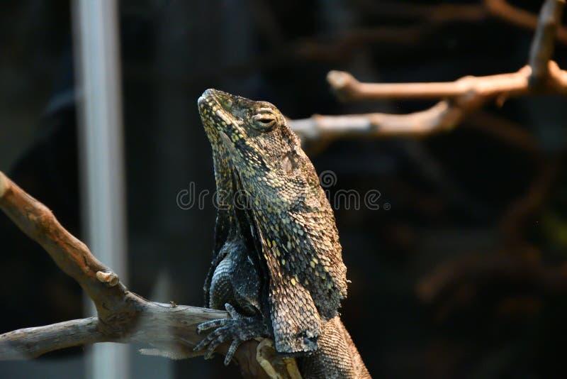 LAT del lagarto con volantes Kingii del Chlamydosaurus foto de archivo libre de regalías