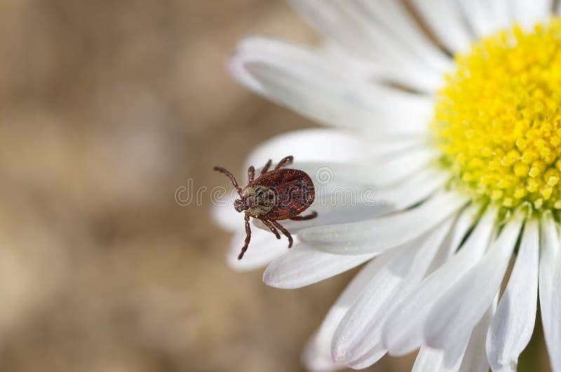 Lat del segno di spunta Acarina su un fiore fotografie stock libere da diritti