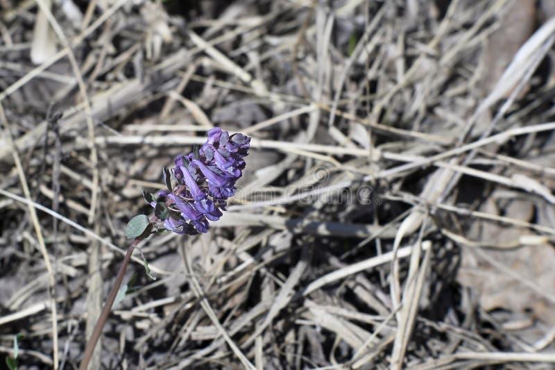 Lat denso de la primavera de la primavera Solida del Corydalis en el fondo de las hojas de la hierba seca y del año pasado imagen de archivo