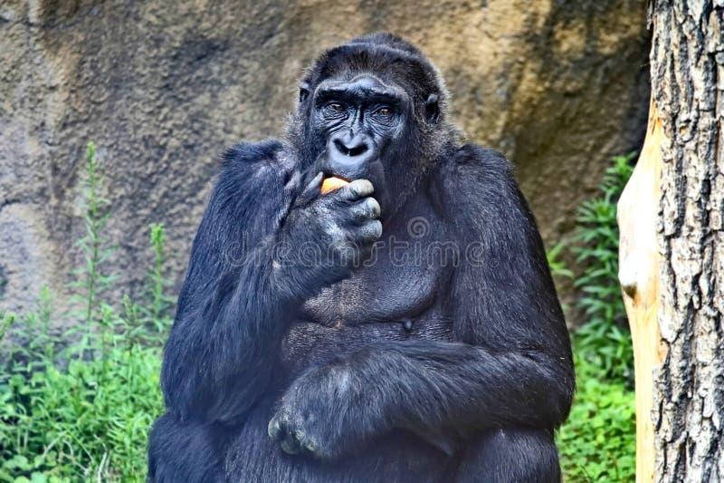 Lat do gorila de montanha Beringei do beringei do gorila têm uma área muito limitada em África central no grande Vale do Rift fotografia de stock royalty free