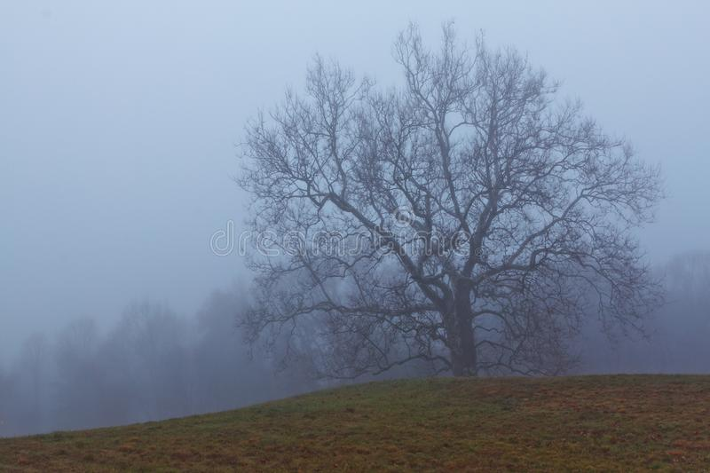 Late fall shot of an old growth sycamore tree in Connecticut on a foggy morning royalty free stock image