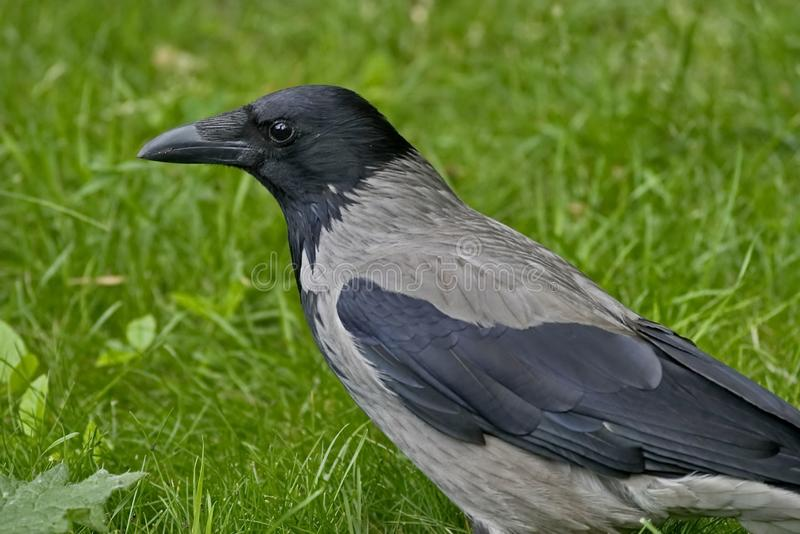 Lat gris del cuervo El cornix del Corvus es una especie de pájaros del género de cuervos Un cuervo gris en la hierba imagen de archivo libre de regalías