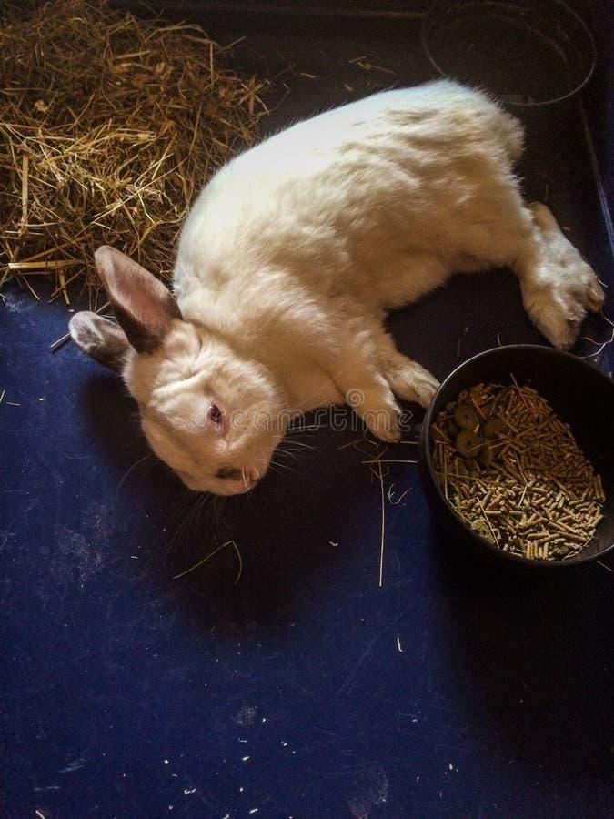 Lat kanin fotografering för bildbyråer