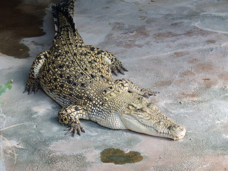 lat krokodil royaltyfri foto