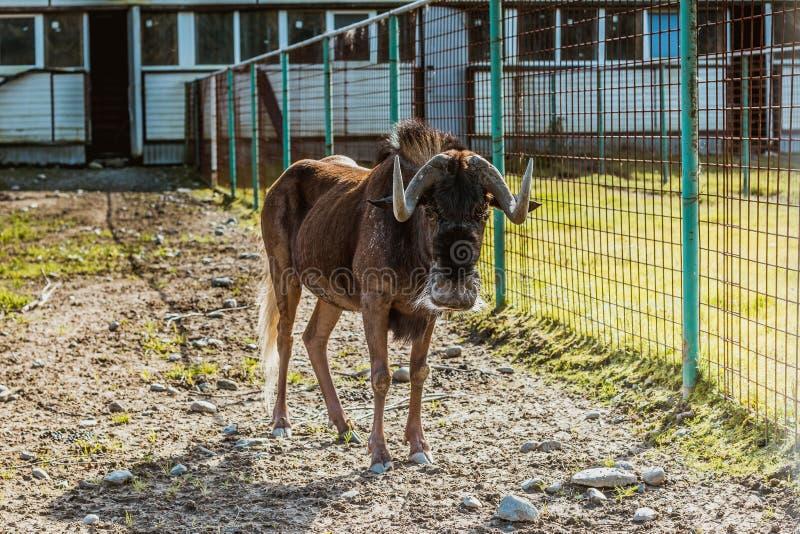 Lat nero dello gnu Antilope di gnou del Connochaetes nell'iarda immagine stock