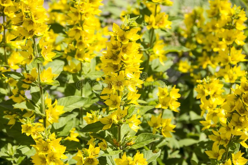 Lat ordinaire de salicaire Lysimachia vulgaris photos stock
