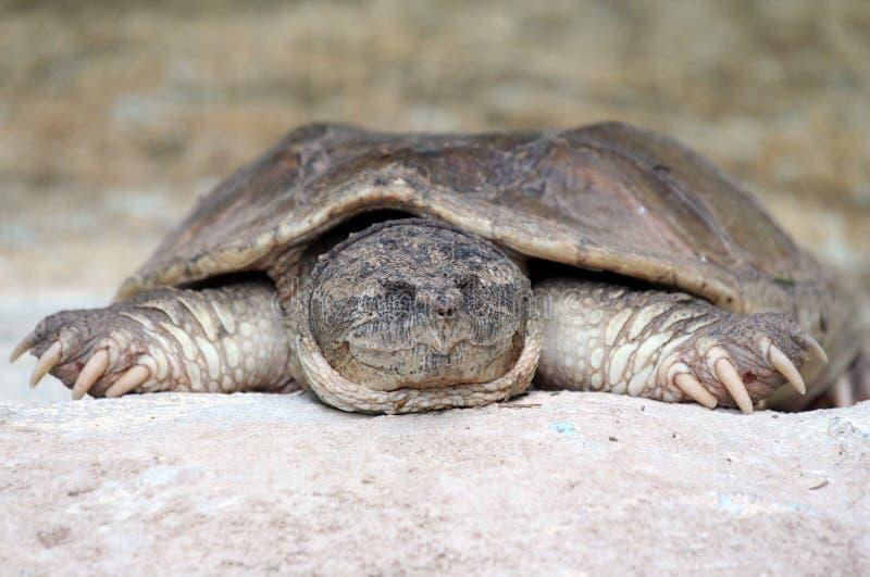 Download Lat sköldpadda arkivfoto. Bild av grått, damm, sömn, sömnigt - 994460