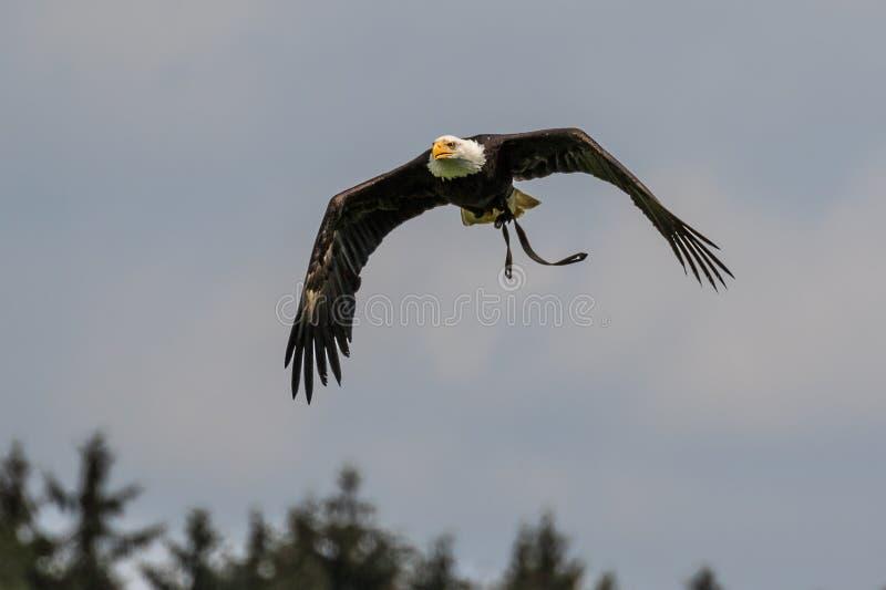 Lat volant d'aigle chauve leucocephalus de haliaeetus en parc photographie stock
