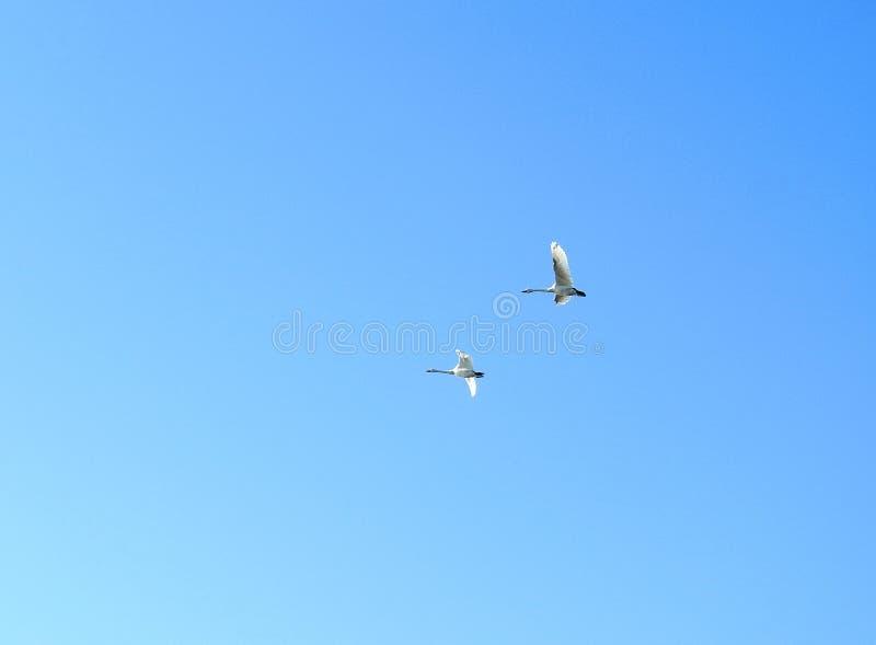 Latać dwa białego łabędź w niebieskiego nieba tle, Lithuania zdjęcie stock