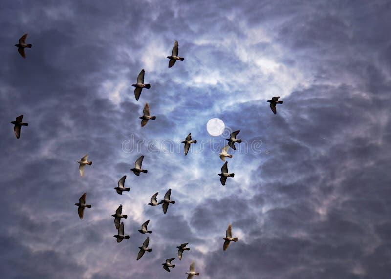 latać gołębi zdjęcia royalty free