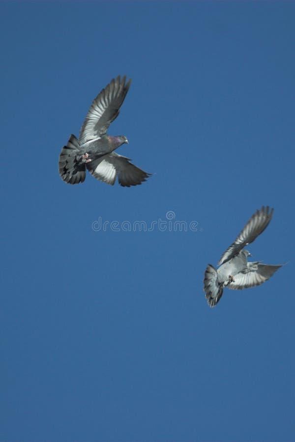 latać gołębi obrazy stock