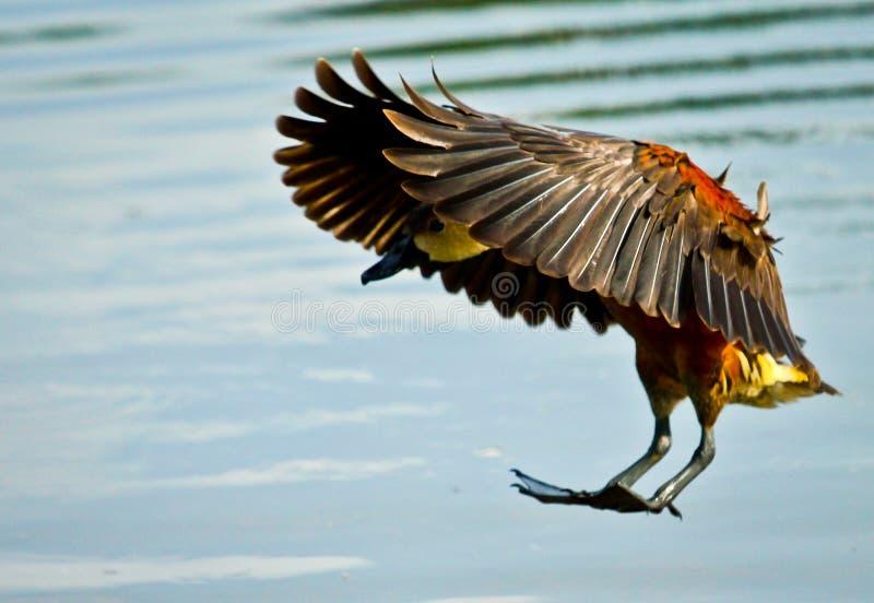 Latać kaczki przy miejscowego ogródem zdjęcia royalty free