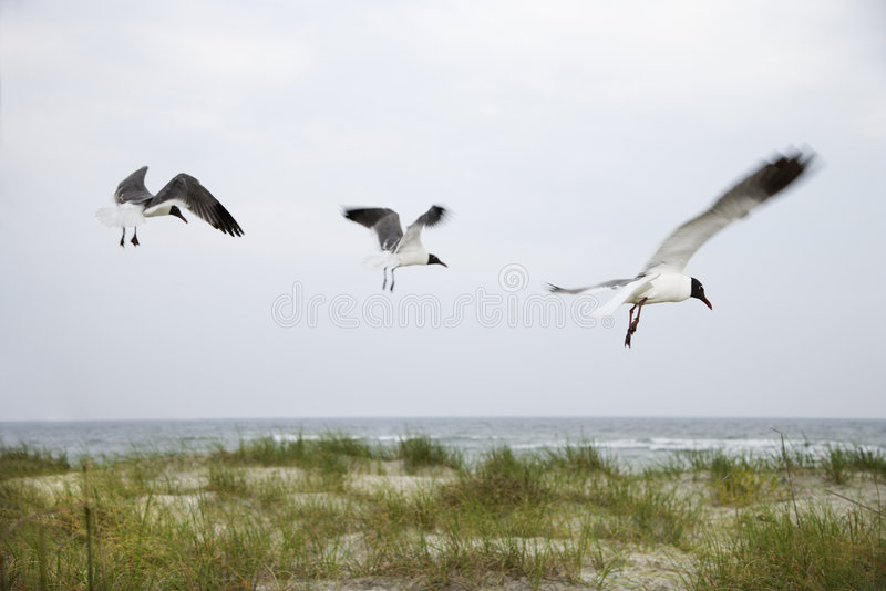 latać na plaży przez 3 mewy zdjęcia royalty free