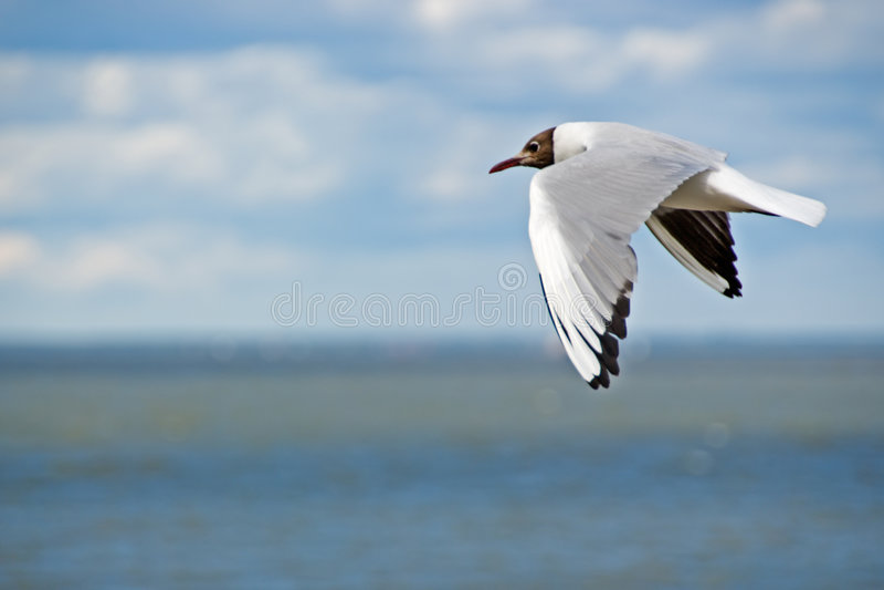 latać po mewa morskim obraz royalty free