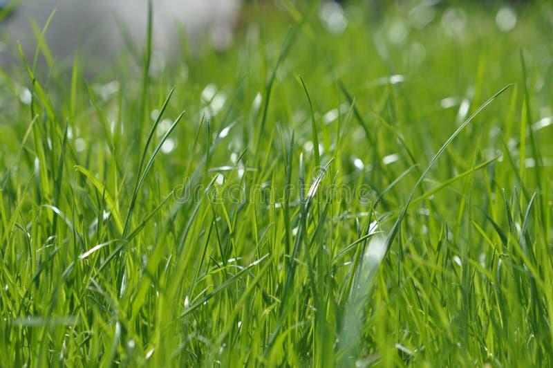 Lata świeży jaskrawy - zielona trawa Wiosny tło z zielonym gazonem dla projekta, tapeta, desktop trawy zieleni macro obrazy royalty free