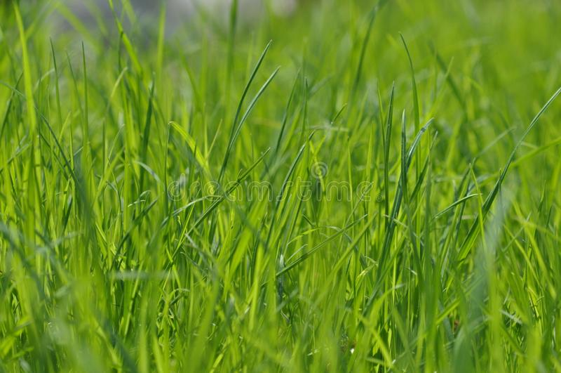 Lata świeży jaskrawy - zielona trawa Wiosny tło z zielonym gazonem dla projekta, tapeta, desktop trawy zieleni macro fotografia stock