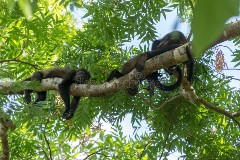 Lata apor som hänger från trädet, Costa Rica, Central America arkivfoto