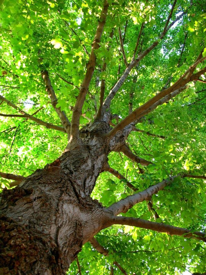 lata drzewo obraz royalty free