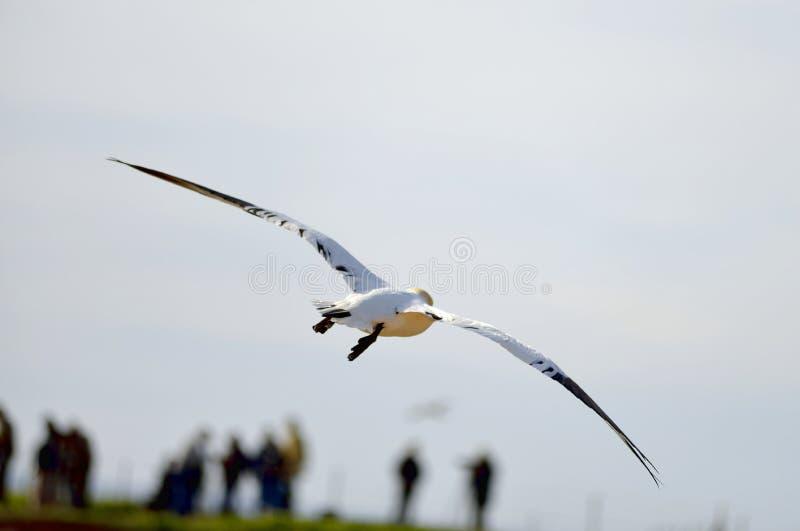 Download Latać Gannet w Helgoland zdjęcie stock. Obraz złożonej z zwierzę - 57651040