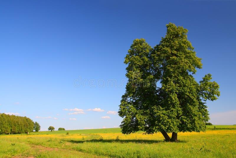 lata lime drzewo krajobrazu fotografia royalty free