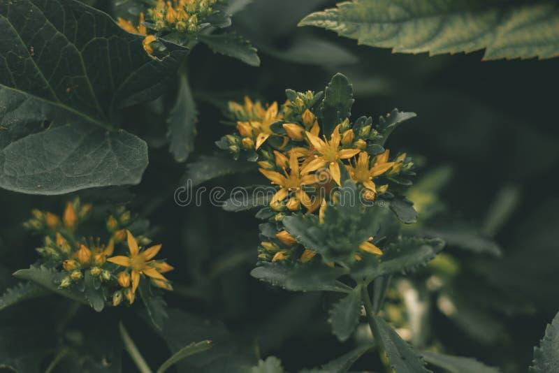 Lata lub wiosny roślina z małymi żółtymi kwiatami Zielony krzak Naturalny t?o obraz stock