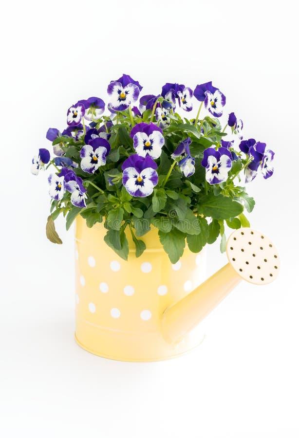 Lata molhando amarela enchida com Pansy Flowers roxa fotos de stock royalty free