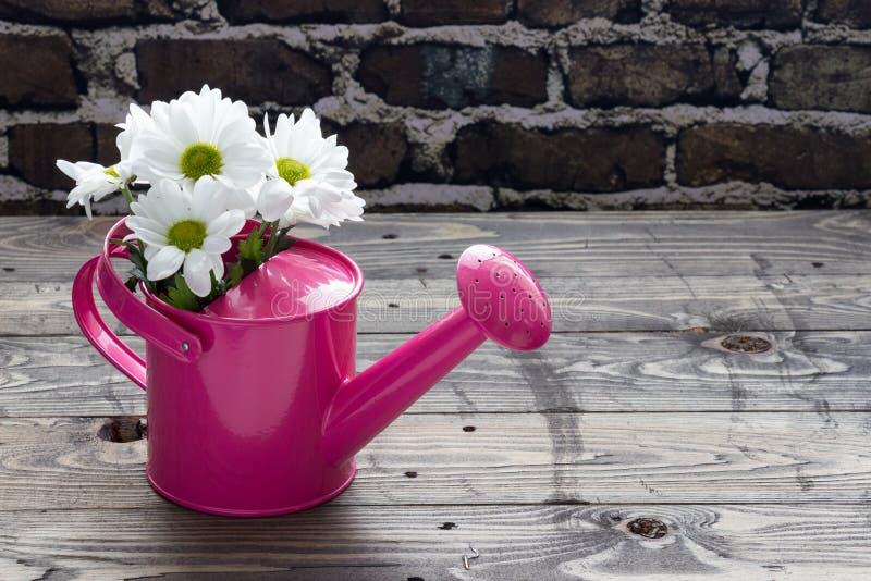 Lata molhando cor-de-rosa com as margaridas brancas na tabela de madeira foto de stock