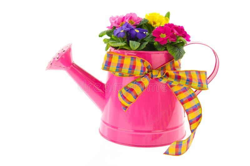 Lata molhando cor-de-rosa com Primroses coloridos foto de stock royalty free