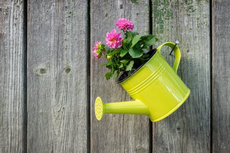Lata molhando de suspensão com a flor cor-de-rosa da dália na parede de madeira velha da vertente do jardim imagem de stock royalty free