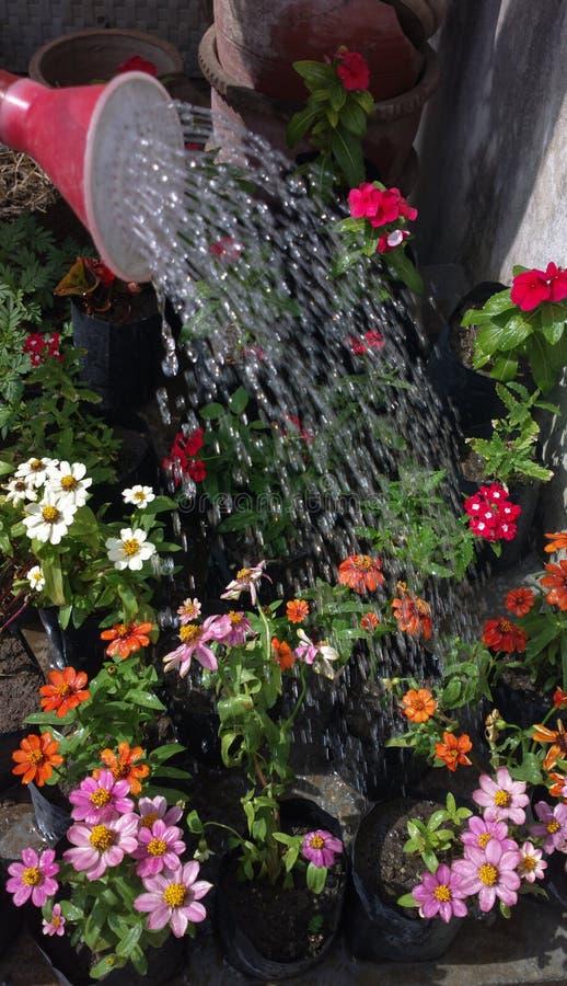 Lata molhando molhando das gotas coloridas da água da flor imagem de stock