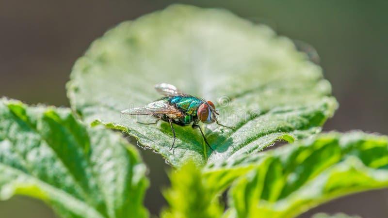 Lata na liściu - wielki szczegół twarz, thorax i skrzydła, zdjęcie stock