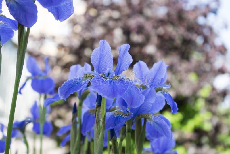 lata ogrodu Błękitni irysy z brązu bokeh tłem fotografia stock