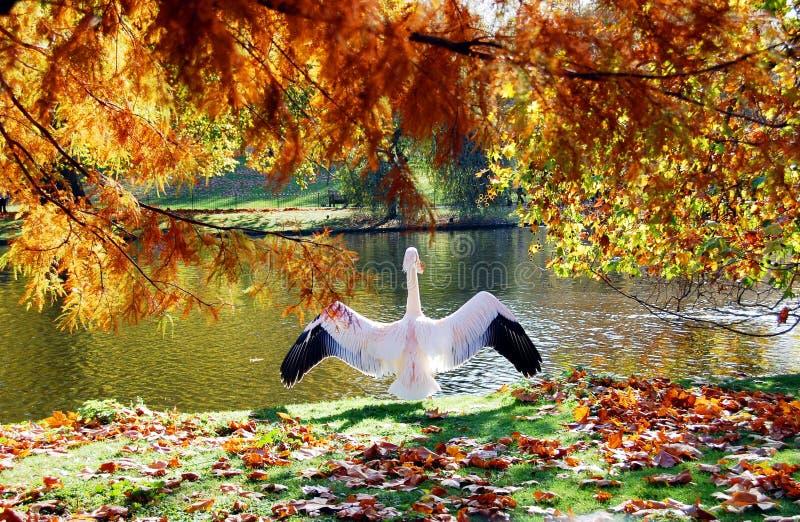 lata parkowego London wielkiego pelikana narządzanie wzrastał fotografia stock