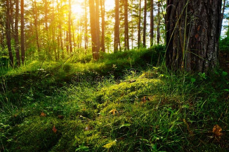 Lata porośla lasowa roślinność Trawa, krzaki, mech dorośnięcie w pinewood understory i underbrush backlit słońcem, obrazy royalty free