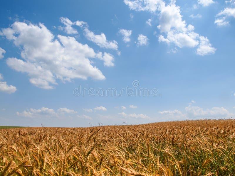 Lata pszenicznego pola krajobrazowy biel chmurnieje błękitnego pogodnego niebo, Polska fotografia stock