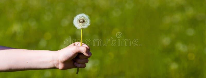 Lata puszysty dandelion na zielonym tle w polanie obraz stock