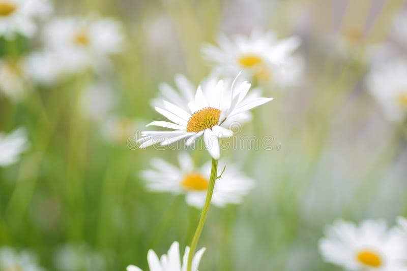 Lata tło biała stokrotka kwitnie w horyzontalnej ramie zdjęcie stock