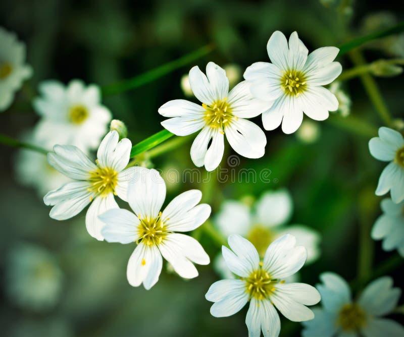 Lata tło z białymi florets obraz stock