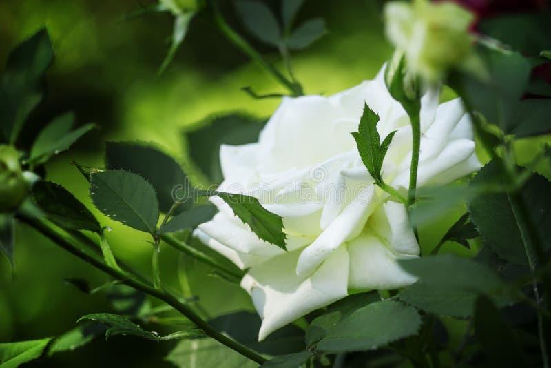 Lata tło z piękną biel różą, zamazany wizerunek, sele fotografia royalty free