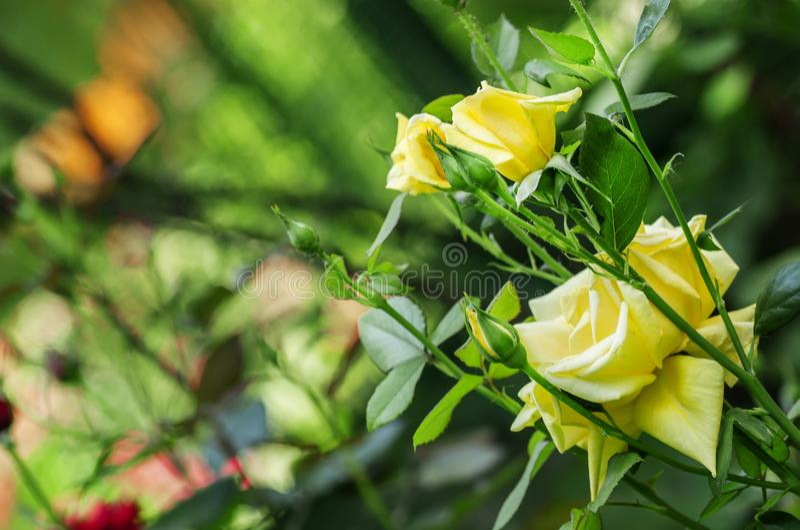 Lata tło z piękną kolor żółty różą, zamazany wizerunek, sel fotografia stock