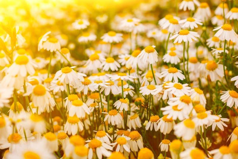 Lata tło z pięknym stokrotki polem w wam świetle słonecznym zdjęcie royalty free