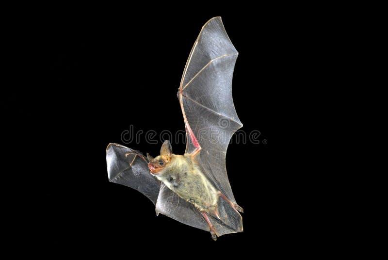 Latający nietoperz z czernią, Myotis myotis fotografia stock