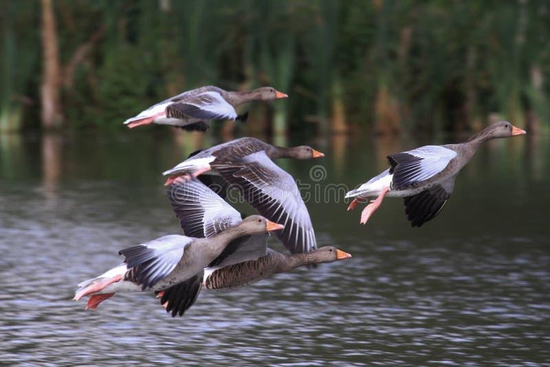 latająca gąsek greylag grupa obraz stock